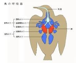 鳥の肺.jpg